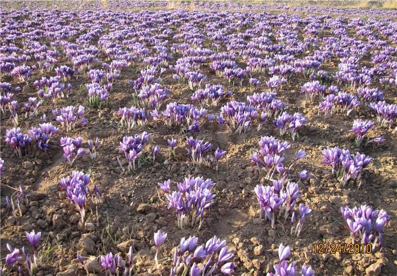 پیشبینی می شود رشد و تولید زعفران در سال جاری ۳۰ درصد افزایش می یابد