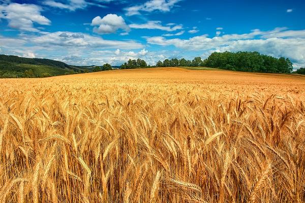 تداوم خودکفایی ایران در تولید گندم / سیل امسال تولید گندم را کاهش نداد