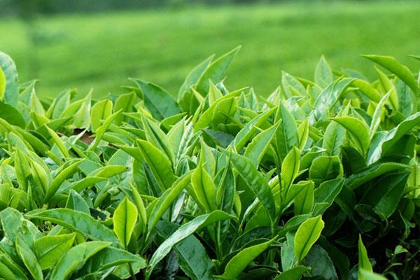 صادرات چای هند به ایران 2.5 برابر شد