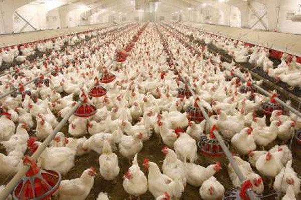 قیمت مصوب مرغ ۱۲۹۰۰ تومان است/گرمازدگی یکی از دلایل نبود تعادل در بازار است
