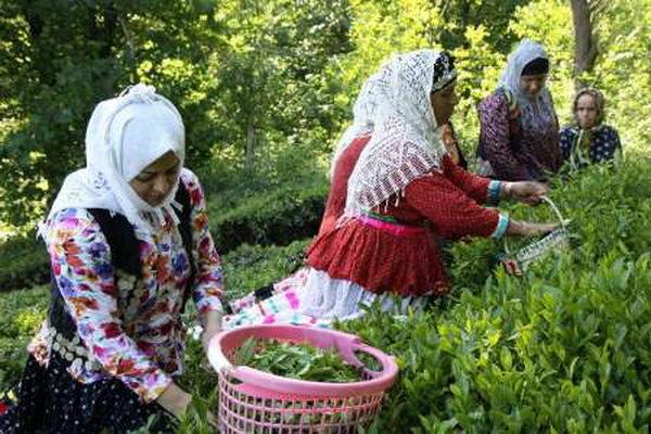 چای ایرانی، شناسهدار می شود
