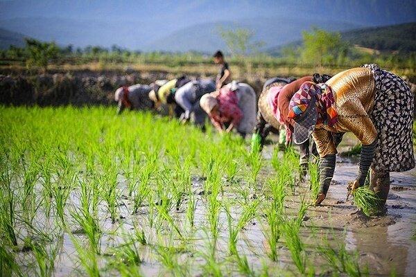 برنج مازندران در بورس؛ چشماندازها و پیشنیازها